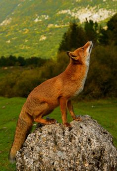 isawatree: Fox by marco branchi (via land-of-the-animals)