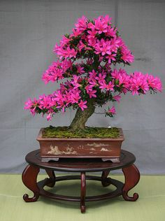 Bonsai is the Japanese art of molding aesthetically pleasing dwarfed trees and plants.