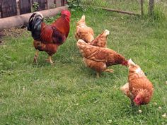 Treat common poultry diseases with simple, cheap home remedies and preventative care. Originally published as