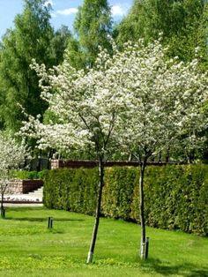 Tuomipihlajat - Pinsiön taimisto