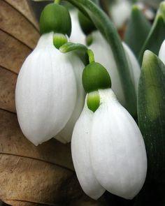 Galanthus elwesii by Tie Guy