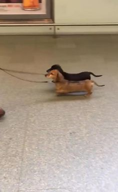 #dogs #cutedogs #cuteanimals #dogvideos #animalvideos Cute Baby Dogs, Cute Funny Dogs, Cute Funny Animals, Cute Puppies, Weenie Dogs, Dachshund Puppies, Funny Dachshund, Daschund, Dachshunds
