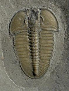 Name: Bathyuriscus fimbriatus Trilobite Order Corynexochia, Suborder Corynexochina, Superfamily Corynexochoidea, Family Dolichometopidae Locality: House Range, Millard County, Utah Stratigraphy: Middle Cambrian, Marjum Limestone Formation
