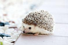 """Cute animals - hedgehog"" art print by taraandtash Cute Animal Photos, Cute Animal Videos, Animal Pictures, Animals Photos, Animals And Pets, Baby Animals, Funny Animals, Cute Animals, Wild Animals"