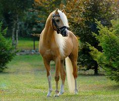 Welsh Pony section B stallion,Tycjan. A different angle. photo: Weronika Zablocka.