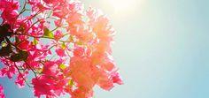 Plantas negativas para el hogar: Trinitaria o Bungavilla