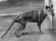 Tigre de Tasmanie (officiellement éteint)