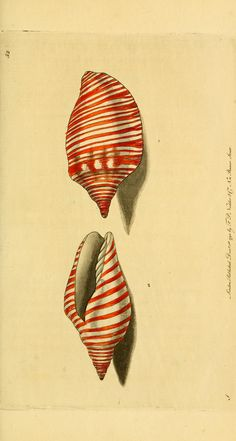 Orange-striped volute ~ by George Shaw #conchology #shells #seashells