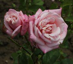 Hybrid Tea Rose: Rosa 'Regina' (Czech Republic, 1983)