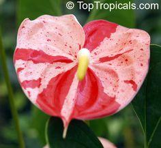 Anthurium hybrid Shibori, Flamingo Flower, Variegated Flower Anthurium  Click to see full-size image