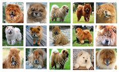 Chow Dogs Digital Collage 1.5 inch / 207 by LisaChristines on Etsy, $1.50