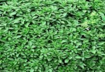 Αυτό είναι το πιο δυνατό αντιοξειδωτικό- Καθαρίζει τις αρτηρίες από την κακή χοληστερόλη Remedies, Herbs, Plants, Home Remedies, Herb, Planters, Plant, Spice, Planting