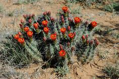 Echinocereus coccineus subsp. gurneyi, USA, Texas, Pecos Co.  More Pictures at: http://www.echinocereus.de