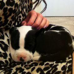 My baby pitbull :)