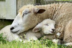 """""""Mama's Lamb"""" by Rachel Morrison - A mother sheep and her lamb sleep on a spring day in Colonial Williamsburg, Virginia. Cute Baby Animals, Animals And Pets, Funny Animals, Wild Animals, Animal Pictures, Cute Pictures, Lamb Pictures, Cute Lamb, Photo Animaliere"""