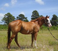 Rodeo Time - a red dun Thoroughbred/Paint horse cross