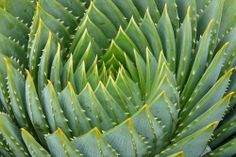 cactus-spiral in nature Bonsai, Spirals In Nature, Interior Plants, Cactus Y Suculentas, Cacti And Succulents, Cacti Garden, Patterns In Nature, Cool Plants, Shades Of Green