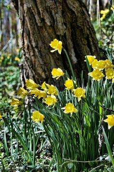 daffodils, blooming on the edge of the woods