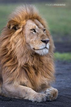 A portrait of one of the two dominant male LIONS of the Ndutu Pride marsh areas west of Lake Ndutu.