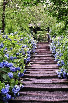 明月院の紫陽花 Meigetsuin, Kamakura, Japan #Hydrangea #紫陽花 #Kamakura
