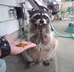 Raccoon: awww, is that for me?