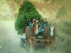 Amy driving Rob and Marty @ 0inecrest Christmas Tree Farm.  This was a 13ft tree.  Only 1 tree would fit on the wagon on this trip.