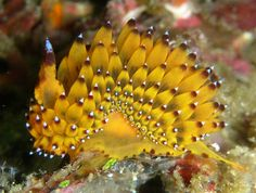 Janolus sp #seaslugs