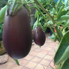 Y siguen creciendo ya falta menos  #eggplant #urbangarden #growmyownfood #huertourbanopiluki #huertocasero #huertoencasa #huertourbano #huertoenmacetas #macetohuerto