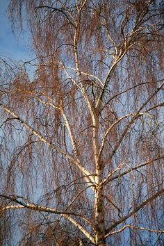 'Birke im Winterkleid' von Heidrun Lutz bei artflakes.com als Poster oder Kunstdruck $18.03