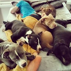 Awe...it's a blanket of pit bulls!