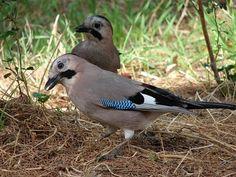 Сойка (фото) – птичка, поражающая своим репертуаром Смотри больше http://kot-pes.com/sojka-foto/