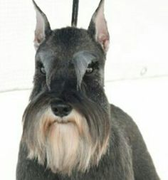 "Get excellent recommendations on ""schnauzer puppies"". They are actually accessible for you on our web site. Schnauzers, Schnauzer Breed, Schnauzer Grooming, Miniature Schnauzer Puppies, Giant Schnauzer, Pet Grooming, Pet Shop, Puppy Cut, Dog Grooming Business"