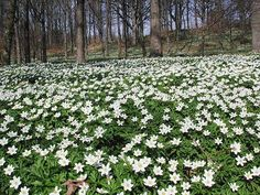 Wood Anemone or Windflower, a cheerful early-spring flowers that look like stars scattered on the forest floor. Although the plant is quite toxic, it has been used as a medicine effective for headache, gout, or asthma North Facing Garden, Dry Shade Plants, Wood Anemone, Early Spring Flowers, Woodland Flowers, Meadow Garden, Beautiful Forest, Gras, Blossom Flower