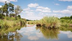 Stock Footage of A static daytime timelapse of a lush green river with reeds and palm trees while clouds move across a blue sky, reflecting in the water. Explore similar videos at Adobe Stock Green River, Kruger National Park, Lush Green, Stock Video, Palm Trees, Stock Footage, Country Roads, Clouds, Sky