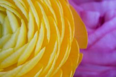 Yellow and pink ranunculus flowers macro photography by PhotoIdea