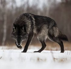 Ferocity of the Black Timber Wolf . Amazing Facts: Wolves travel in packs, with . Wolf Images, Wolf Photos, Wolf Pictures, Animals Images, Wolf Spirit, Spirit Animal, Black Animals, Cute Animals, Beautiful Creatures
