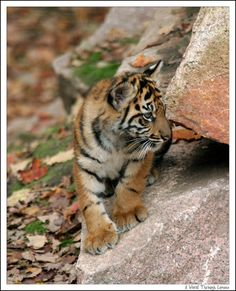 Tiger cubs are born small and helpless, but the mother must leave them alone while she hunts