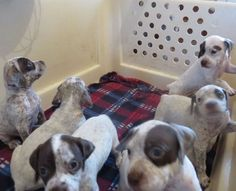 Du Clos De La Chevardière - Braque Du Bourbonnais, Dogs, Animals, Dog Breeds, Dog Baby, Animales, Animaux, Pet Dogs, Doggies