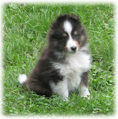 The Shetland Sheepdog originated in the and its ancestors were from Scotland, which worked as herding dogs. These early dogs were fairly sm Puppy Pictures, Animal Pictures, Shetland Sheepdog Puppies, Herding Dogs, Sheltie, Service Dogs, Dog Life, Pet Portraits, Cute Puppies