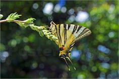 Emotion-Art - Schwalbenschwanz Schmetterling