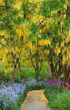 Golden chain tree, Laburnum Van Dusen Botanical Garden, Vancouver BC