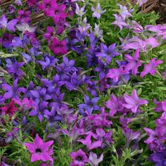 50 seeds $2.49 SPARKLERS MIX Petunia Seeds Sparklers are the first perfect star-shaped petunias available from seed. They are entirely unique. Colors include both solids and bicolors. Like the flowers, the leaves are pointed. Plants grow to 12 inches tall and 16 inches wide. Sparklers petunias are ideal for growing in containers or hanging baskets. A Fleuroselect Novelty Award winner.