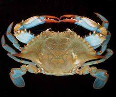 Callinectes sapidus Best Picture For marine Arthropods For Your Tas Shrimp And Lobster, Crab Stuffed Shrimp, Crab Art, Fish Art, Kraken, Crab Painting, Sea Crab, Interesting Animals, Ocean Life