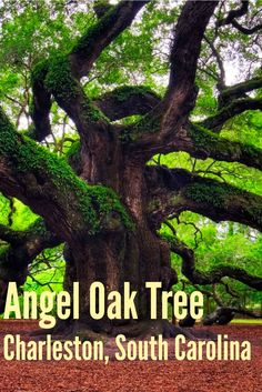 The Magnificent Angel Oak Tree in Charleston, South Carolina