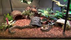 This is a really well done ball python set up. I love the turtle hide.
