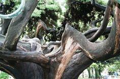 Cipreste do Buçaco Local: Jardim França Borges - Príncipe Real  Freg.: Mercês - Conc.: Lisboa - Distrito: Lisboa