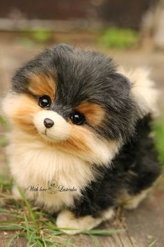 Teacup Pomeranians That's Cute! Teacup