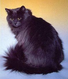 Siberian.  Gorgeous fur!