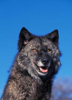 Mackenzie river wolf (Canis lupus mackenzii) by Gerard Lacz