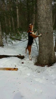 Kim on tree Walker coon hound